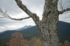 Element of Alone dry tree in Carpatian mountains Royalty Free Stock Image
