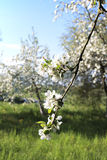 The element of revival. Sprig of white flowering apple trees in the spring petals blurred background Royalty Free Stock Images