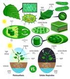 Elementi biologici di Infographic di fotosintesi illustrazione vettoriale