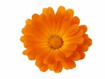Elementi di disegno: Testa di fiore Fotografie Stock Libere da Diritti