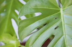 Elementi floreali della foto tropicale e botanica della natura Monstera, palma Fotografia Stock