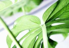 Elementi floreali della foto tropicale e botanica della natura Monstera, palma Immagini Stock Libere da Diritti