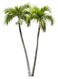 Elemento de la palmera del betel aislado Foto de archivo