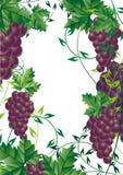 Elemento del diseño de la vid de uva para   Foto de archivo libre de regalías