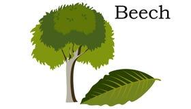 Elemento do vetor das árvores de faia Verde do vetor ilustração royalty free