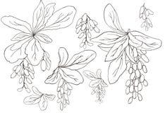 Elemento stabilito di vettore disegnato a mano dei ramoscelli grafici del crespino su un fondo bianco Bei elementi isolati di pro fotografia stock