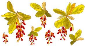 Elemento stabilito di vettore disegnato a mano dei ramoscelli variopinti del crespino su un fondo bianco Bella progettazione flor immagine stock