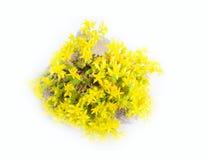 Elemento típico del jardín de piedras Succulent (flor de oro) entre piedras del adoquín Fotografía de archivo