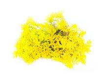 Elemento típico del jardín de piedras Succulent (flor de oro) entre piedras del adoquín Fotografía de archivo libre de regalías
