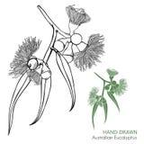 Elementos australianos dibujados mano del diseño del eucalipto ilustración del vector