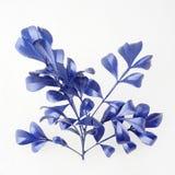 Elementos azuis do projeto da folha Elementos para o convite, cartões da decoração de casamento, dia de Valentim, cartões Isolado Fotos de Stock