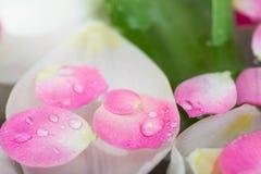 Elementos da natureza, calma, conceito da harmonia há uma quantidade de botões de florescência as tulipas brancas dos bu cobertos Fotografia de Stock