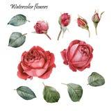 Elementos del diseño gráfico Flores fijadas de rosas rojas de la acuarela Foto de archivo libre de regalías