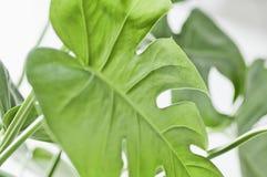 Elementos florais da foto tropical, botânica da natureza Monstera, palma Foto de Stock