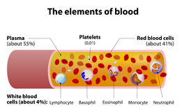 The elements of blood. blood vessel cut section.  Royalty Free Stock Photo