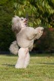 Elemosini il cane - barboncino Immagine Stock