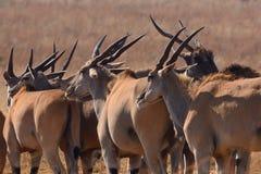 Elenantilope-Herde Stockbild