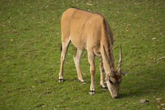 Elenantilope, Taurotragus Oryx, gehört zu der größten Antilope Lizenzfreie Stockfotografie