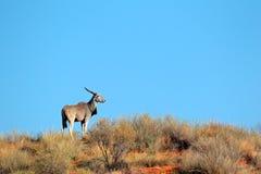 Elenantilopeantilope, Kalahari Lizenzfreie Stockfotos