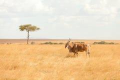 Elenantilopeantilope, Masai Mara Lizenzfreies Stockbild