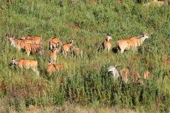 Elenantilopeantilopen im natürlichen Lebensraum Lizenzfreies Stockbild