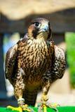 Elengant bird of pray lurking on his victim. A beautiful elegant predator, a bird lurking on his victim Royalty Free Stock Photo