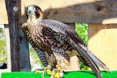 Elengant bird of pray lurking on his victim. A beautiful elegant predator, a bird lurking on his victim Royalty Free Stock Image