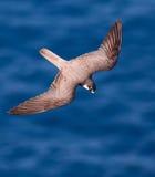 Elenoras falcon, Falco eleonorae stock image