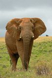 Elepahnt with no tusks. Elephant with no tusks in South Africa Stock Photography
