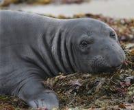 Elepahnt seal on seaweed, big sur,california Stock Images