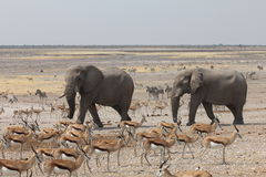 Elepahnts arrive at a Waterhole in Namibia. Two Elephants arrive at a crowded waterhole in Etosha National Park Namibia Royalty Free Stock Images
