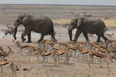 Elepahnts en un Waterhole en Namibia Fotos de archivo