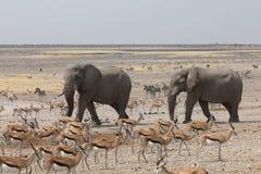 Elepahnts komt in een Waterhole in Namibië aan Royalty-vrije Stock Afbeeldingen