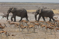 Elepahnts på en Waterhole i Namibia Arkivfoton