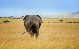 Elepant in Masai Mara resort, Kenya Royalty Free Stock Photography