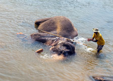 Elepants Bathing in River Sri Lanka, Ceylon Royalty Free Stock Photos