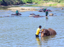 Elepants Bathing in River Sri Lanka, Ceylon Royalty Free Stock Photography