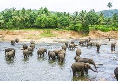Elepants Bathing in River Royalty Free Stock Photos