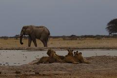 Elepants grandes del toro que beben compartiendo un momento reservado junto imágenes de archivo libres de regalías