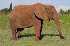 Elepants in wild3 Lizenzfreie Stockfotografie