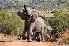 Elepants in wildem Stockfotos