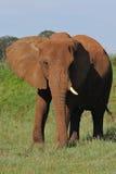 Elepants in wildem Stockbilder