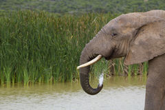 Elephan drinking water Royalty Free Stock Photography