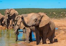 Elephant'skudde bij waterpoel, Zuid-Afrika stock afbeeldingen