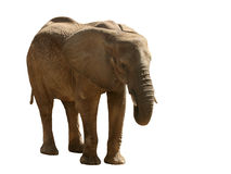 Elephant. Isolated Stock Photography