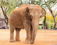 Elephant. An big elephant at the Zoo Stock Photo