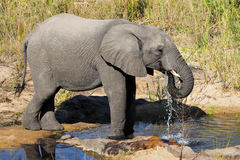 Elephant. African Elephant drinking water; Loxodonta Africana; South Africa Royalty Free Stock Photos