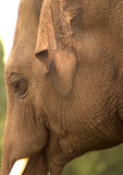Elephant. Portrait of an Indian elephant, shwoing eye, ear, trunk and tusk stock photography