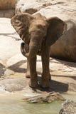 Elephant. Baby elephant playing around near the river Royalty Free Stock Photos