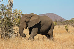 Elephant. Beautiful african elephant in South Africa royalty free stock photography